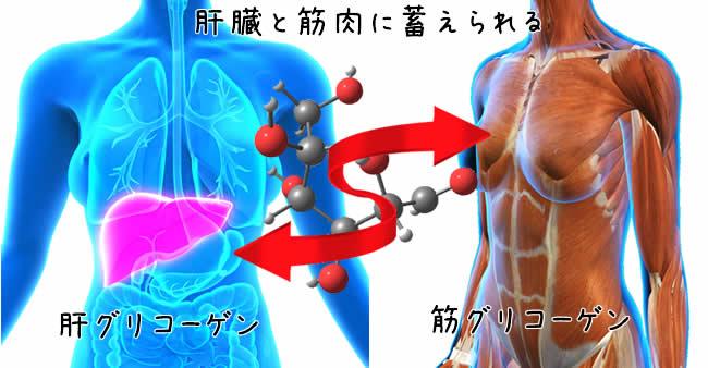 肝グリコーゲンと筋グリコーゲン